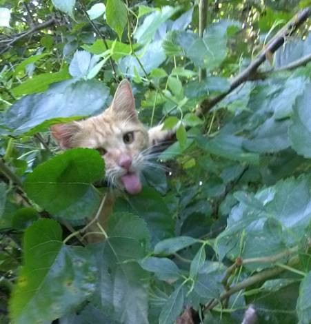 kitten sticks tong out surrounded by mulberry and vine leaves