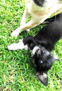 A close up view of a white and a black Chihuahua playing on green grass