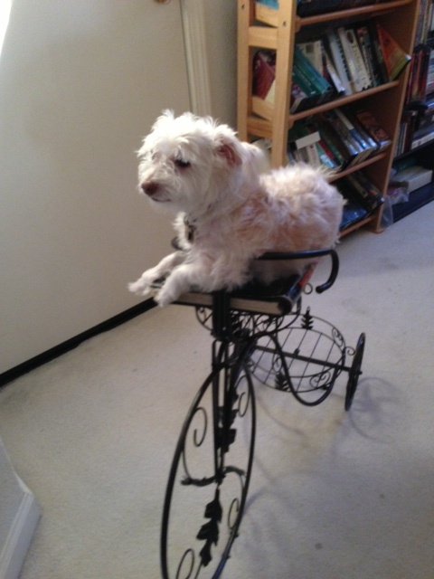 Fluffy white dog lounging on a black decorative metal bicycle shaped plant holder. Photo used as a reference image for a drawing of Butterscotch the dog.