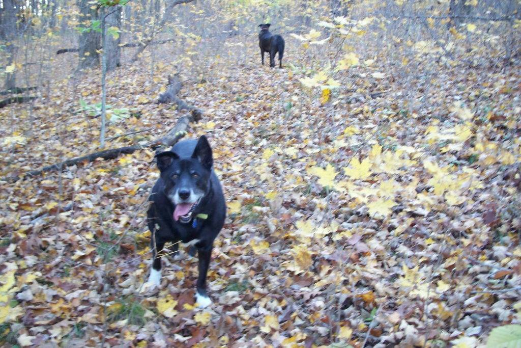 Dark Dogs in the tan and yellow leaf littered woods of fall 2009.
