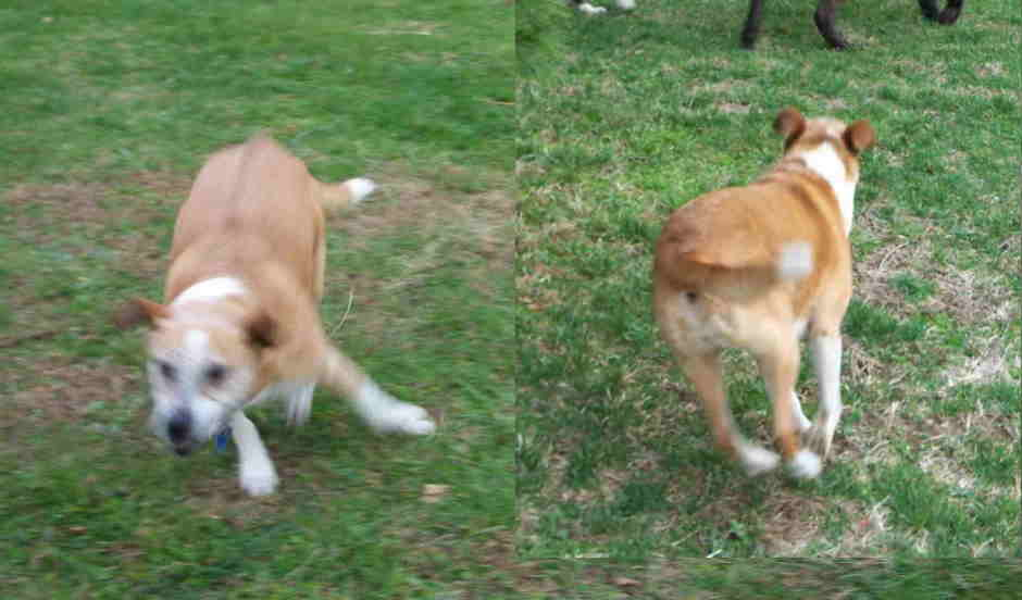 Sadie dog running as seen from front and behind